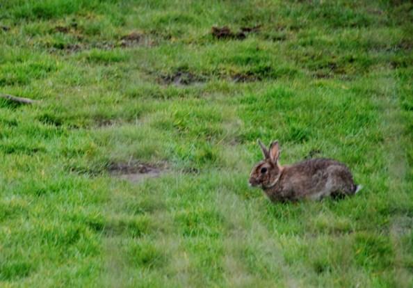 Rugger field rabbits