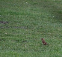 Thrush with a beakful of worms