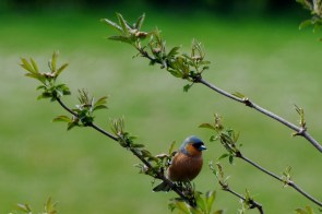 Bullfinch on elder branch