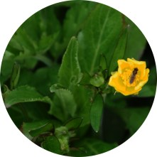 Marsh marigold with fly