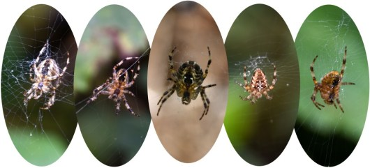 Five spiders