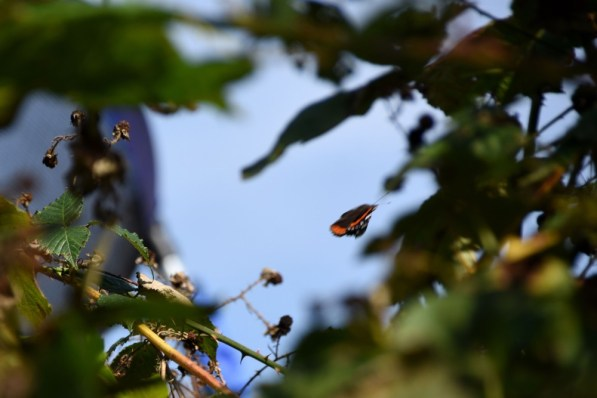 Fleeting glimpse of red admiral.
