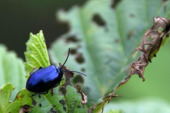 Alder leaf beetle on alder