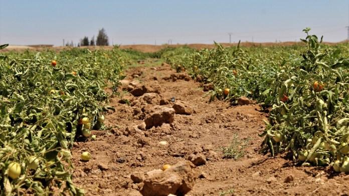 Les projets de serres maraîchères développés à Hassakê, dans le nord-est de la Syrie, assurent l'autosuffisance alimentaire de la région.