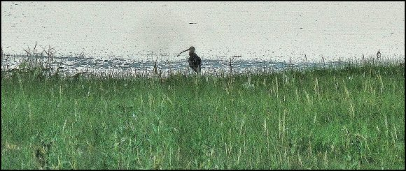 Curlew in the Long Grass
