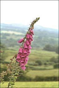 Brecon Foxglove (Photo)