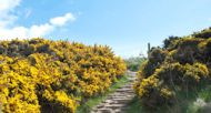 Cleveland pathway leading through colourful yellow gorse bushes as it wends its way along the Yorkshire coastline
