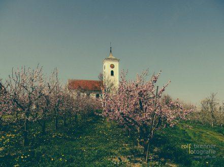 Pfirsich- und Kirschblüte am Bodensee