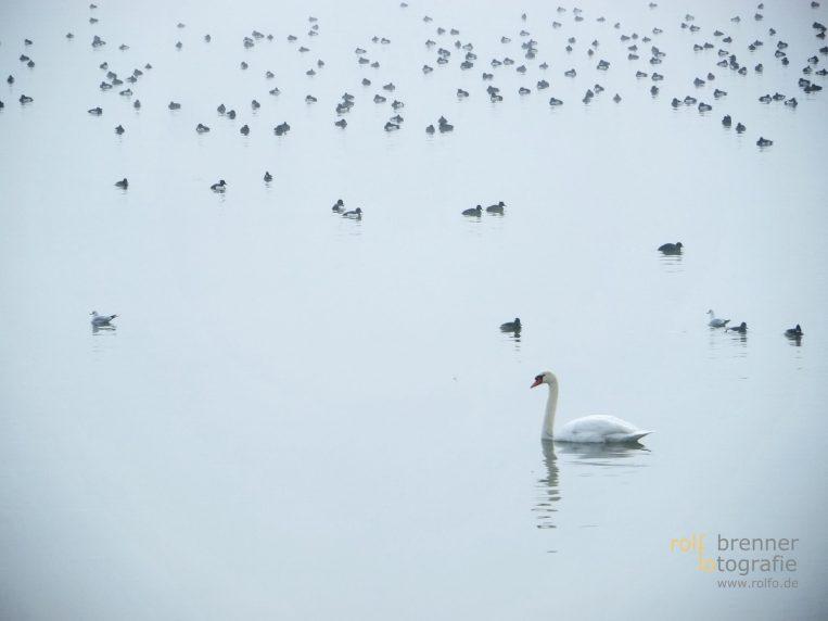 Schwan im Bodensee bei Lindau