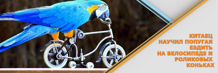 Попугай научился самостоятельно кататься на велосипеде и роликовых коньках