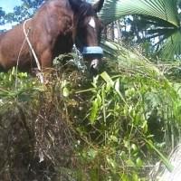 ABACO BARBS - ENDANGERED WILD HORSES