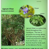LIGNUM VITAE - BAHAMAS NATIONAL TREE