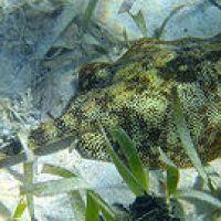 YELLOW STINGRAY Uboritas jamaicensis: BAHAMAS REEF FISH (4)