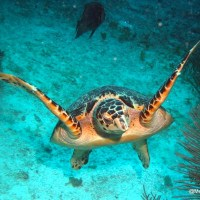 THREATS TO SEA TURTLES: ABACO, BAHAMAS... IN FACT, EVERYWHERE