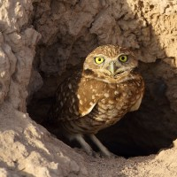 OWLS OF ABACO (2): BURROWING OWLS - RARE VISITORS