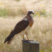 SWAINSON'S HAWK: A UNIQUE VISITOR TO ABACO, BAHAMAS