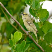 THICK-BILLED VIREOS: ABACO'S ONLY PERMANENT RESIDENT VIREO