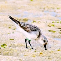 SANDERLING ON ABACO: A PERFECT PEEP FOR THE NEW YEAR