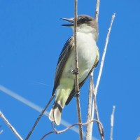 'TYRANTS OF ABACO': FLYCATCHER ID (1) - LOGGERHEAD vs GRAY KINGBIRD