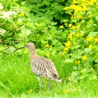 WADING TO MAKE A COMEBACK: WHIMBRELS RETURN TO BAHAMAS