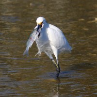 SNOWY EGRETS & ENVIABLE FISHING SUCCESS