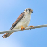 AMERICAN KESTRELS ON ABACO: 'LET US PREY...'