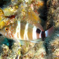 REDSPOTTED HAWKFISH: BAHAMAS REEF FISH (35)