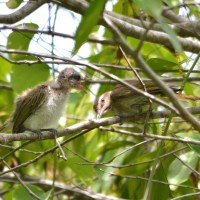 VORACIOUS VIREOS: A TALE OF GREED ON ABACO