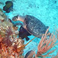 HAWKSBILL TURTLES + ANGELS = REEF HEAVEN