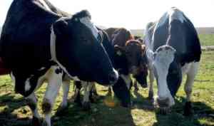 CowsFarm