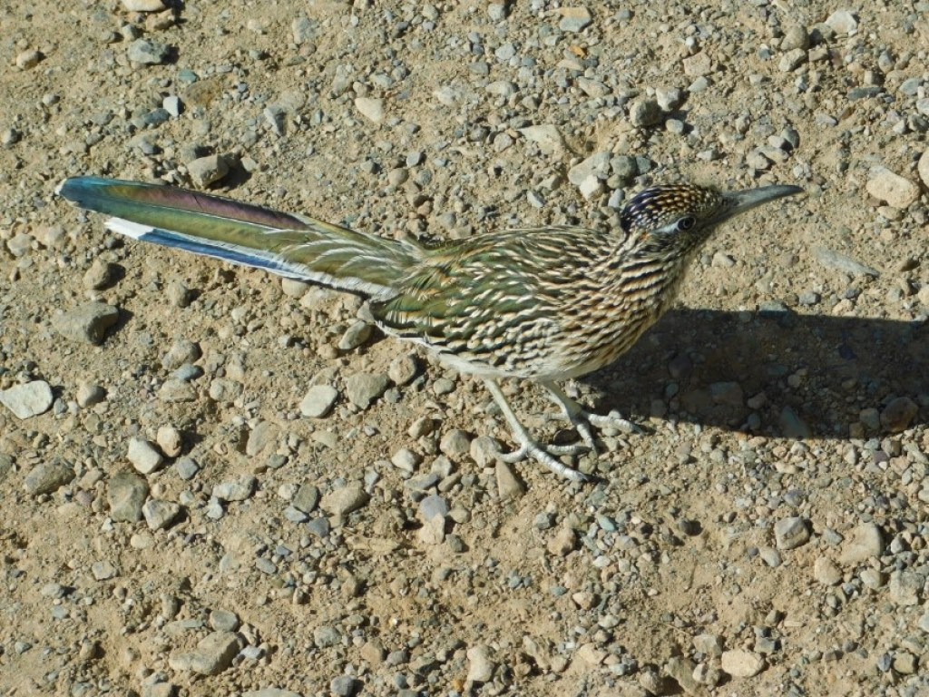 Blue feathers on road runner
