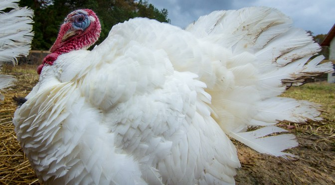 Piedmont Farm Refuge Day with the Turkeys – Nov 30th 2014!