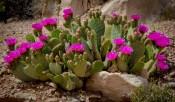 Arizona_Page_Blooming Cactus_3499