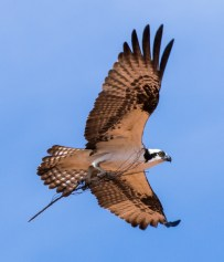 Arizona_Page_Osprey_7612