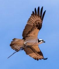 Arizona_Page_Osprey_7612