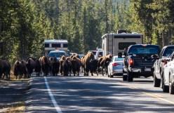 Yellowstone-Bison-0688