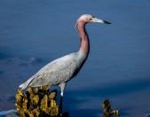 Cedar Key FL_Birds_1390