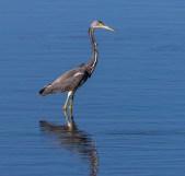 Cedar Key FL_Birds_1398