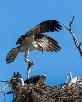 Cedar Key FL_Birds_1664