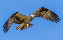 Cedar Key FL_Birds_1686