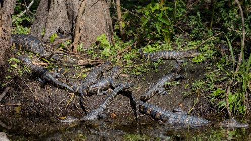 Click the picture to see all of the baby alligators