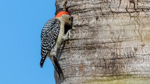 Florida_Marco Island_Burrowing Owls and Wood Pecker_2857