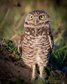 Florida_Marco Island_Burrowing Owls_3016