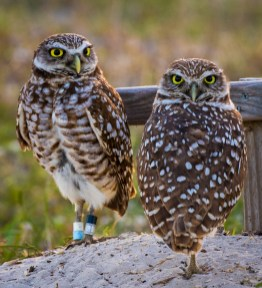 Florida_Marco Island_Burrowing Owls_3064