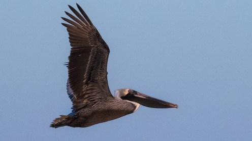 St Pete FL-Birds at Ft DeSoto Park_1722