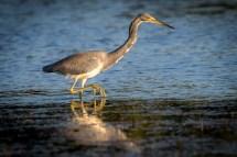 St Pete FL-Birds at Ft DeSoto Park_1833