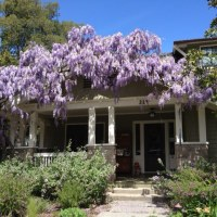 Wisteria Blooming Today