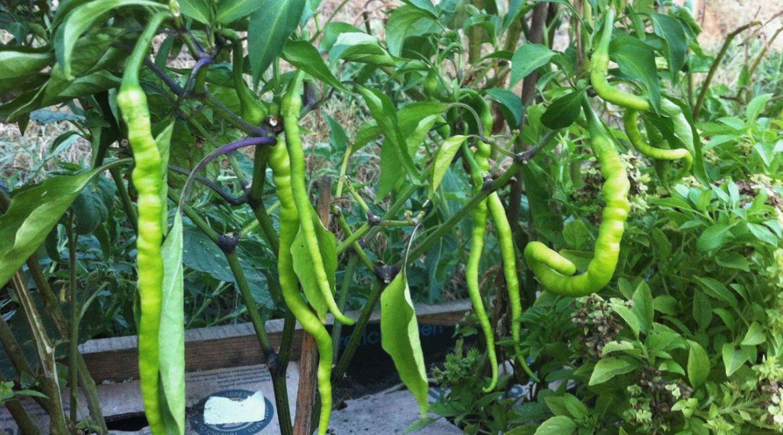 2015 Summer Harvest