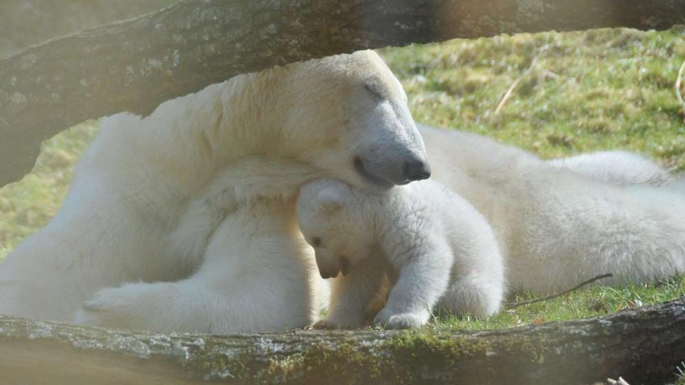 Eisbär Q