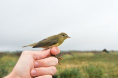 Willow Warbler (Phylloscopus trochilus, Pouillot fitis)